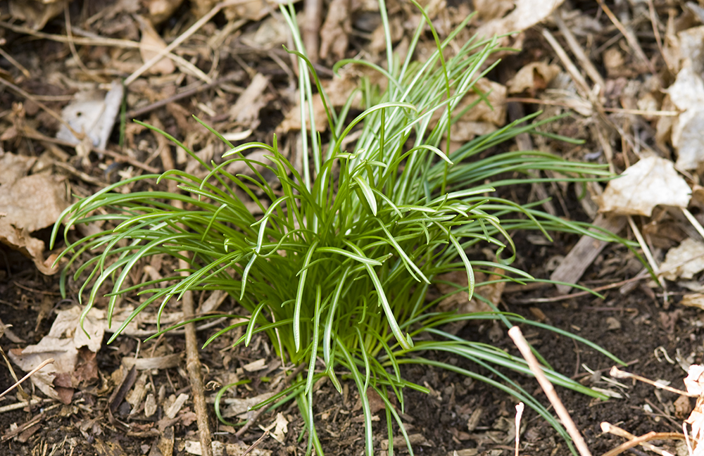 how to get rid of wild onion grass