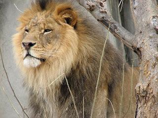 hansome lion
