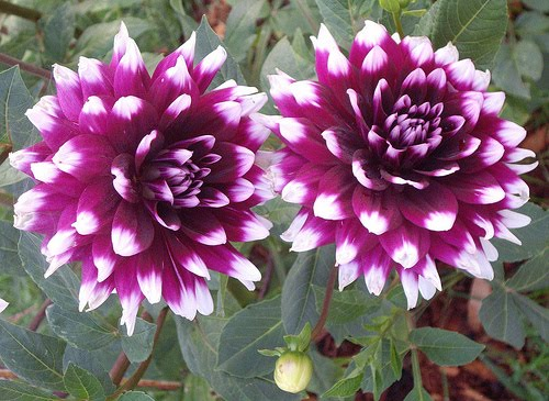 beautiful flowers dahlia flowers  pictures  meanings, Natural flower