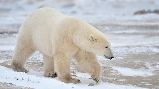baiklah langsung saja ini dia gambar beruang :