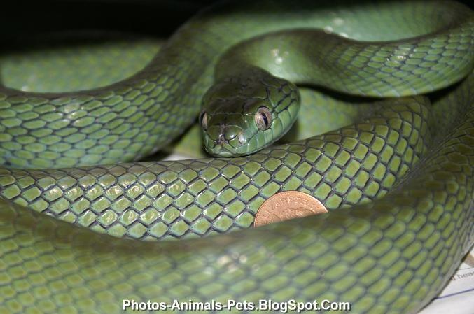 http://4.bp.blogspot.com/-KPvsWrM0h_0/TiMFJtlw4GI/AAAAAAAABw4/n-BerUXGfp4/s1600/snakes%2Bpet_0003.jpg