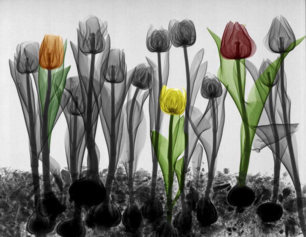 16-Tulips-in-the-Field-Arie-van-t-Riet-Colored-X-ray-Photographs-of-Nature-www-designstack-co