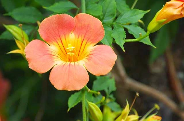 Chinese Trumpet, flower, vine