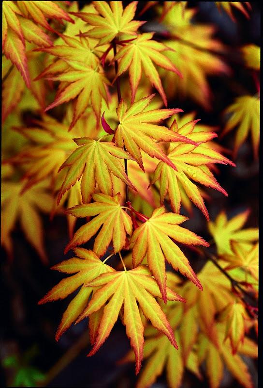 flora wonder blog summer maples. Black Bedroom Furniture Sets. Home Design Ideas