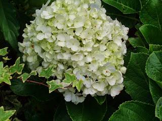 Jual pohon bunga rotensia | supplier tanaman hias bunga