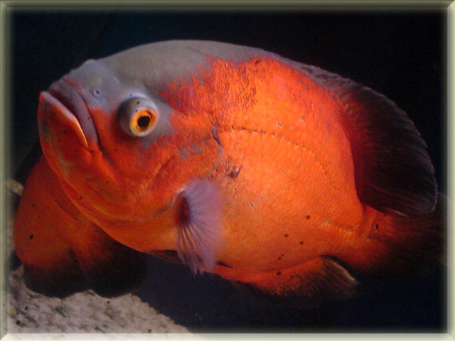 Image gallery orange fish names for Gold fish names