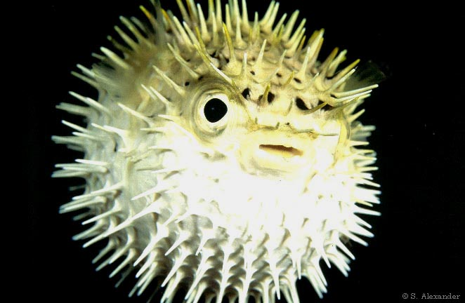 puffer fish animal wildlife