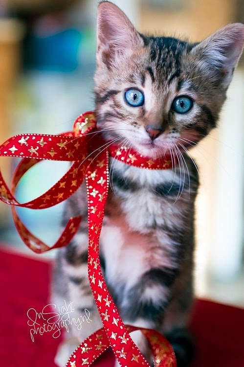 blue eyed grey kitten red ribbon