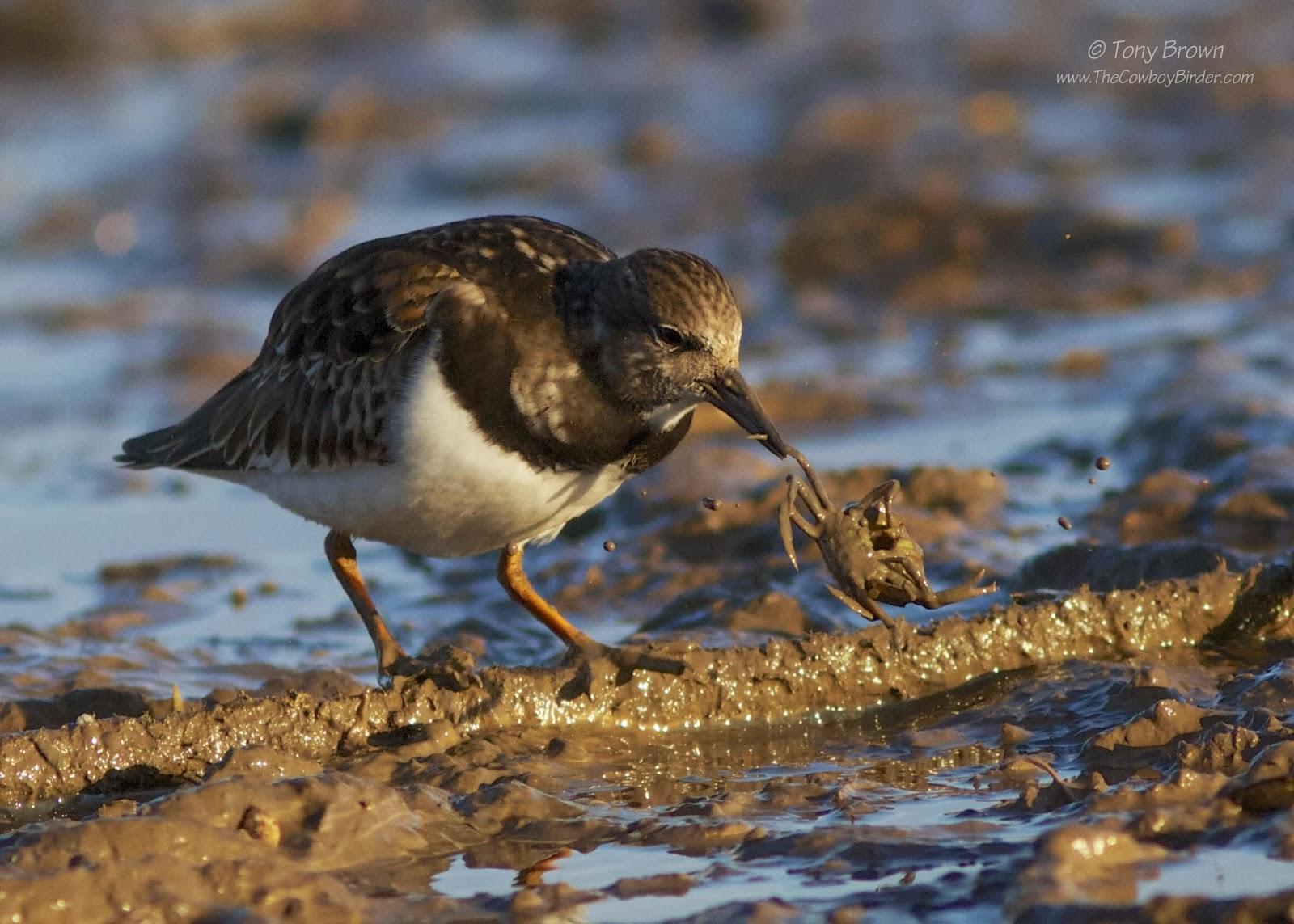 Feeding, Crustaceans, Molluscs, Crab