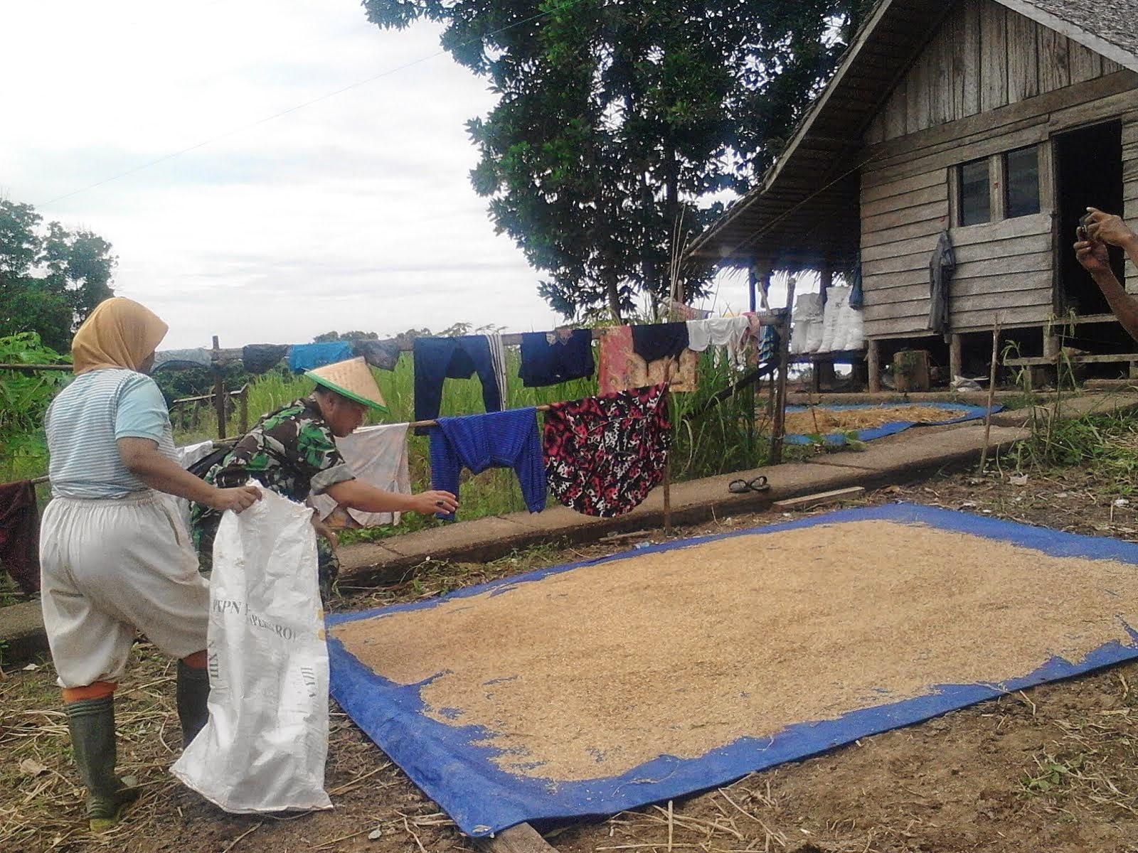 Penjemuran padi