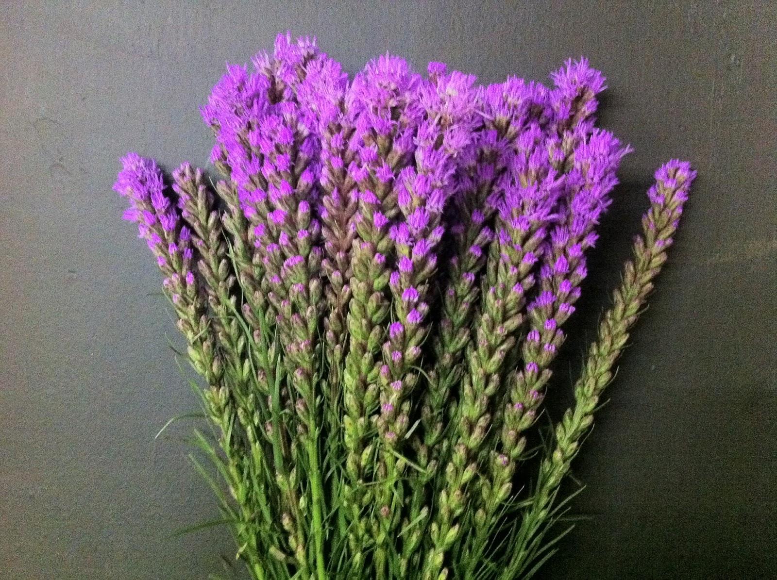 Что за цветок лиатрис 96