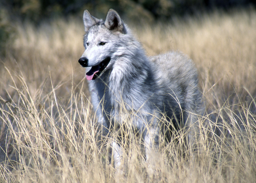 Gray Wolf Pets Picture Gray Wolf Facts.jpg