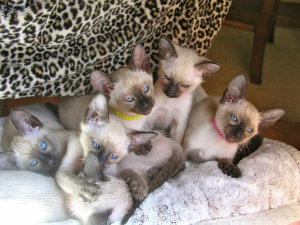 Seal Point kittens