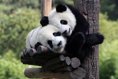 Osos Panda en su hábitat natural