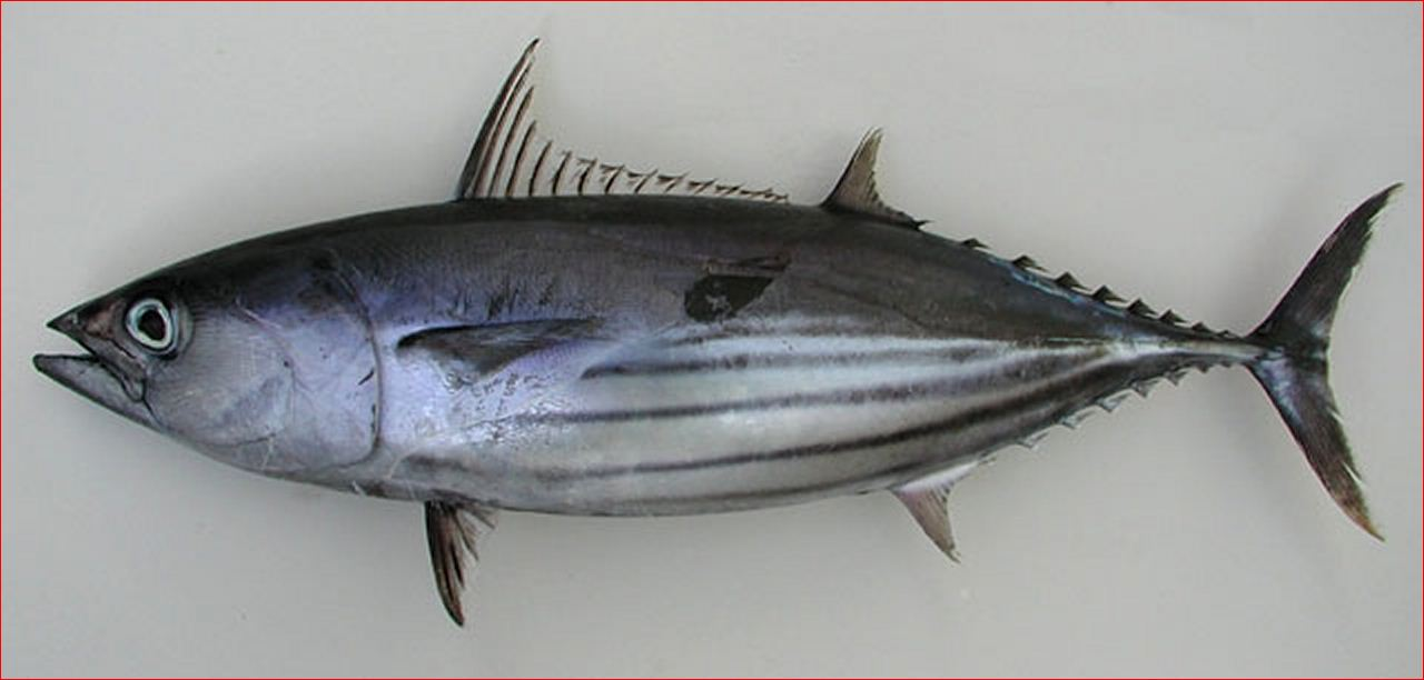 Fish identification skipjack tuna aku arctic bonito for What does a tuna fish look like