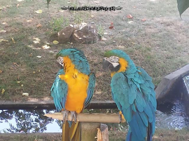 Aras perroquets sur leur perchoir qui font leur toilettes