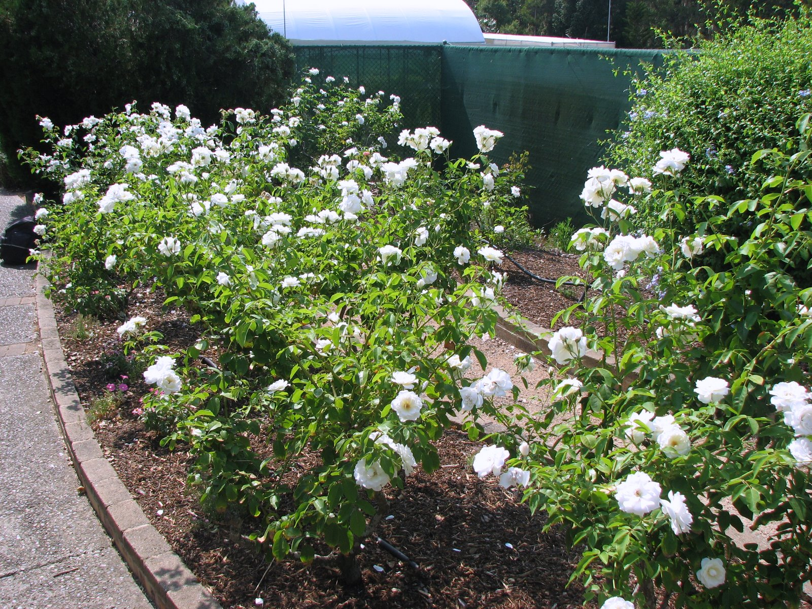 Plant Photography: White Rose Garden