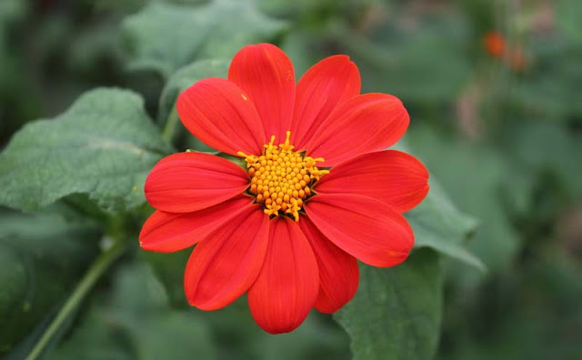 Mexican Sunflower Pictures