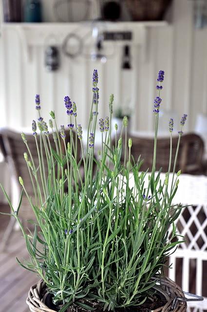 Claudiaroma lavanda em vaso for Lavanda coltivazione in vaso