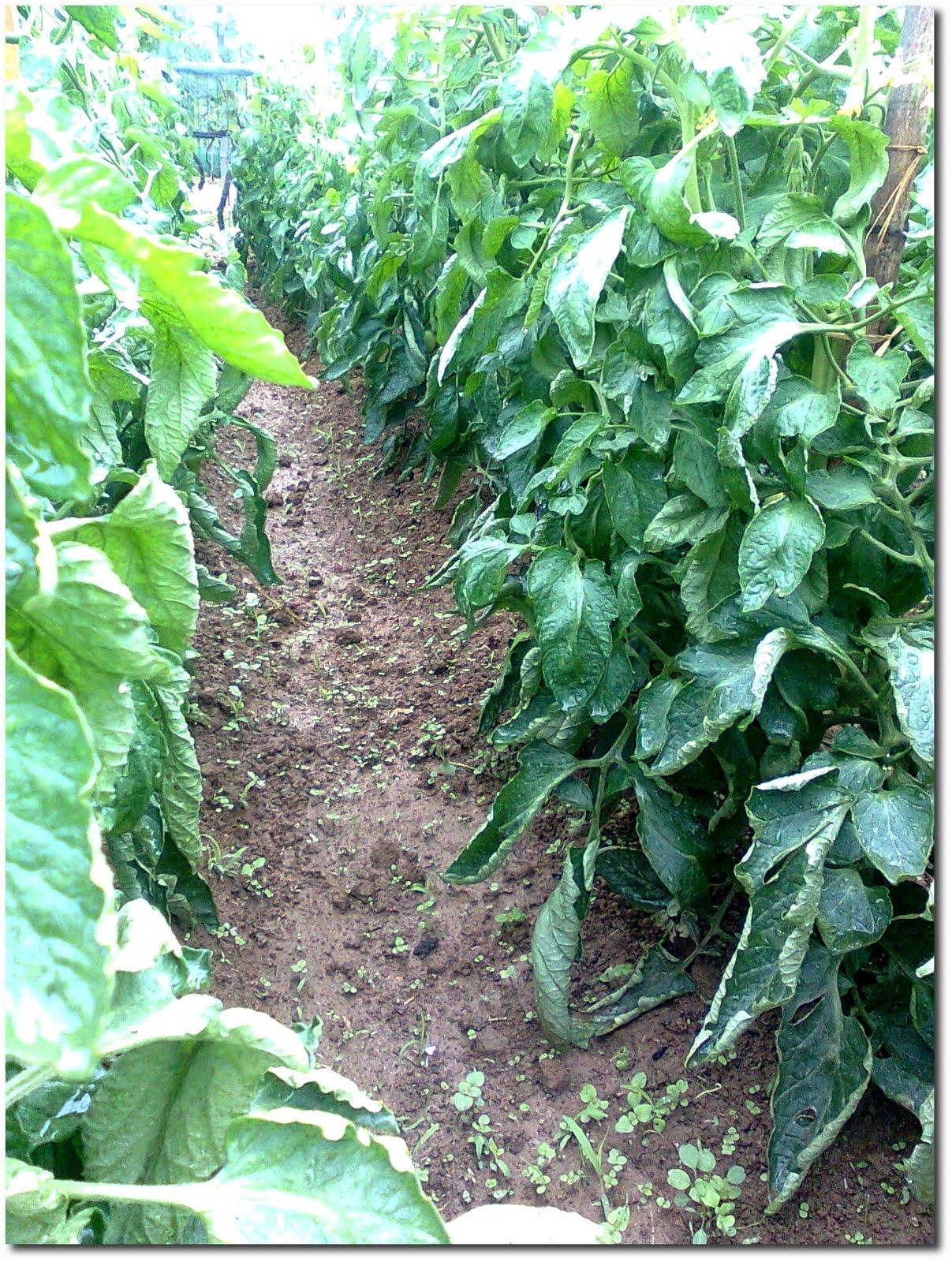 Ortensie Con Foglie Arricciate : Frutta e verdura dal campo anche i pomodori nel loro