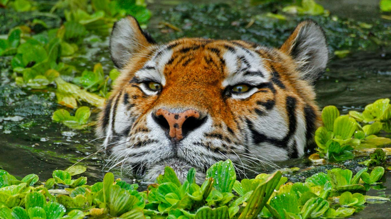 A Siberian tiger takes a swim at the Antwerp Zoo in Belgium (© Hans Kuczka/Aurora Photos) 135