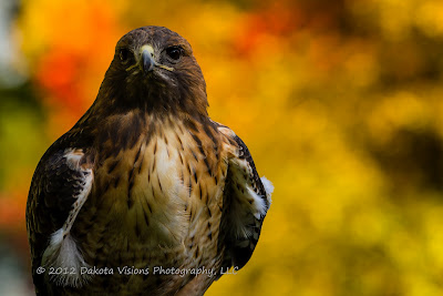 Birds of Prey Red Tailed Hawk Buteo jamaicensis by Dakota Visions Photography LLC Black Hills Photo Shootout Elise
