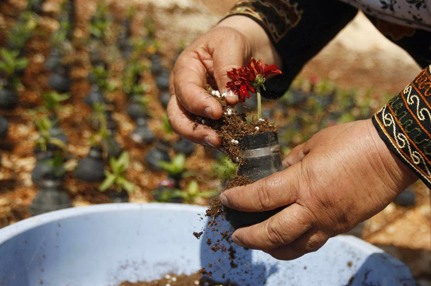 Palestinian Woman Plants Flowers In Israeli Army Tear Gas Grenades