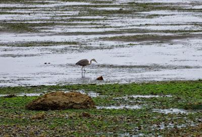 great blue heron in bay