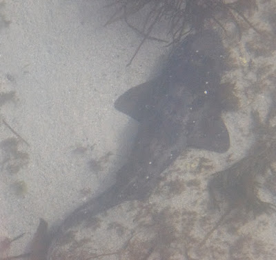 Draughtboard Shark (Cephaloscyllium laticeps)