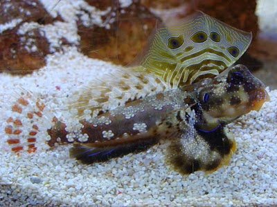 animal a day ocellated dragonet