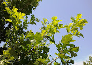 I first noticed the new growth on the two Bur Oaks (Quercus macrocarpa) on .