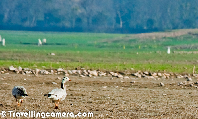 During recent trip to Pong Water reservoir in Himachal Pradesh, we saw lot of flocks of Bar Headed Goose and they were almost every-time around us because the huge migration count in this region. This Photo Journey is purely dedicated to Bar headed Goose, which had top count during Bird Counting activity during Jan 2012At Pong, Bar Headed Goose can be seen in flocks of hundreds to thousands. Above Photograph shows some of the birds from a huge flock, which was flying from east to west with Snow Covered Dhaulandhar Mountain Ranges in the background. During this trip, Bar Headed Goose were most encountered birds and during the second I was able to recognize the sound among the various other bird sounds near Pong LakeAt Pong Bar Headed Goose can either be seen around green fields where they graze on short grass OR near water, either floating and socializing :) . Bar Headed Goose have been reported as migrating south from Tibet, Kazakhstan, Mongolia and Russia before crossing the Himalaya.The Bar-headed Goose is thought to be one of the world's highest flying birds and having been heard flying across Mount Makalu, which is 5th highest mountain on earth at 8500 metres. Apparently Bar Headed Goose are seen over Mount Everest (8848 metres, although this is a second hand report with no verification).Flying Bar Headed Goose in front of Trans-Himalayan Ranges of Dhauladhar with fresh snow of Winters !Incredibly demanding migration has long puzzled physiologists and naturalists: 'there must be a good explanation for why the birds fly to the extreme altitudes, particularly since there are passes through the Himalaya at lower altitudes, and which are used by other migrating bird species