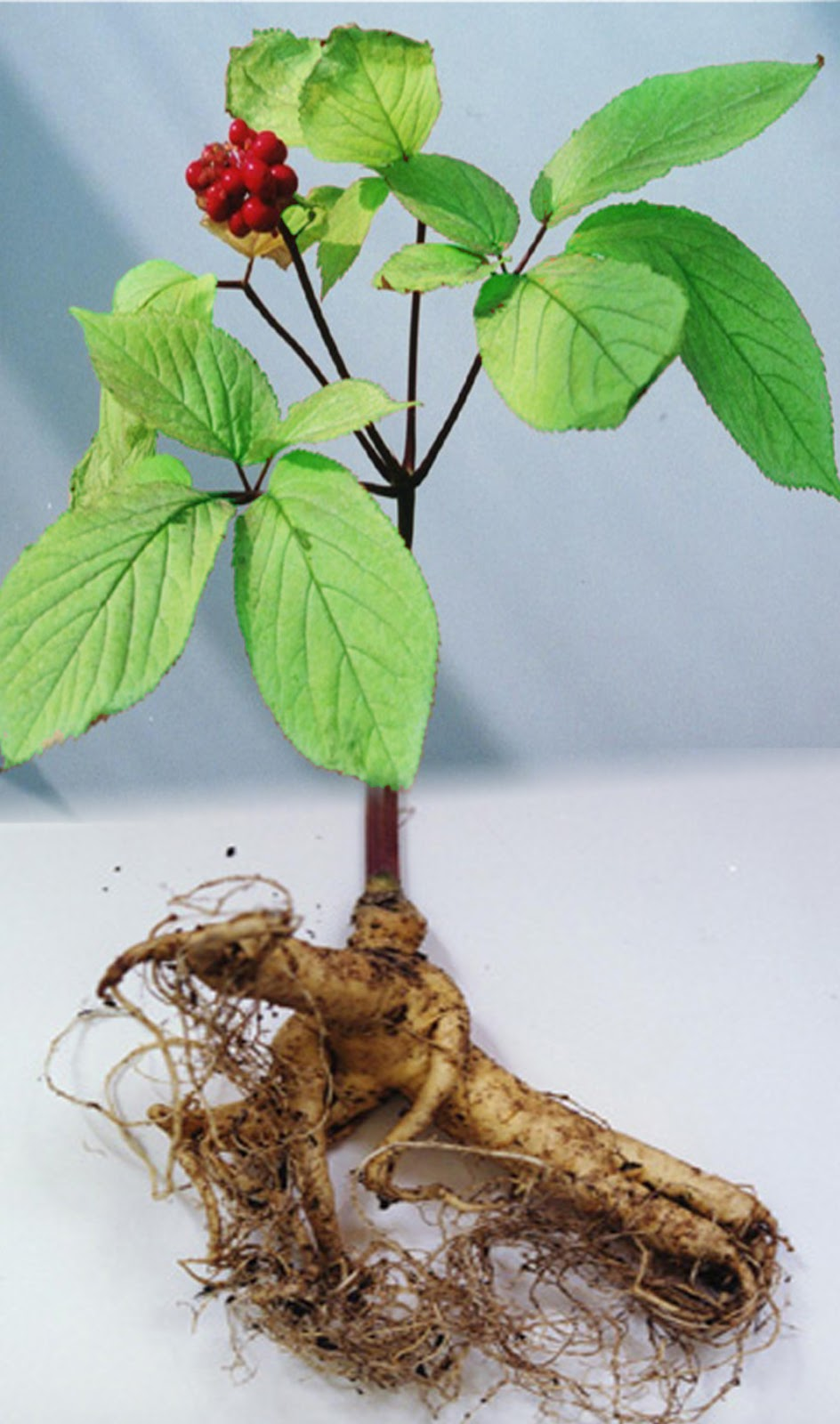 image of ginseng plant - used in China and Asian countries for 2000 years as tonic, herbal, natural remedy for various ailments including impotence