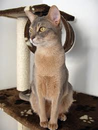Email This BlogThis! Share to Twitter Share to Facebook Share to ... Usual Abyssinian Kittens