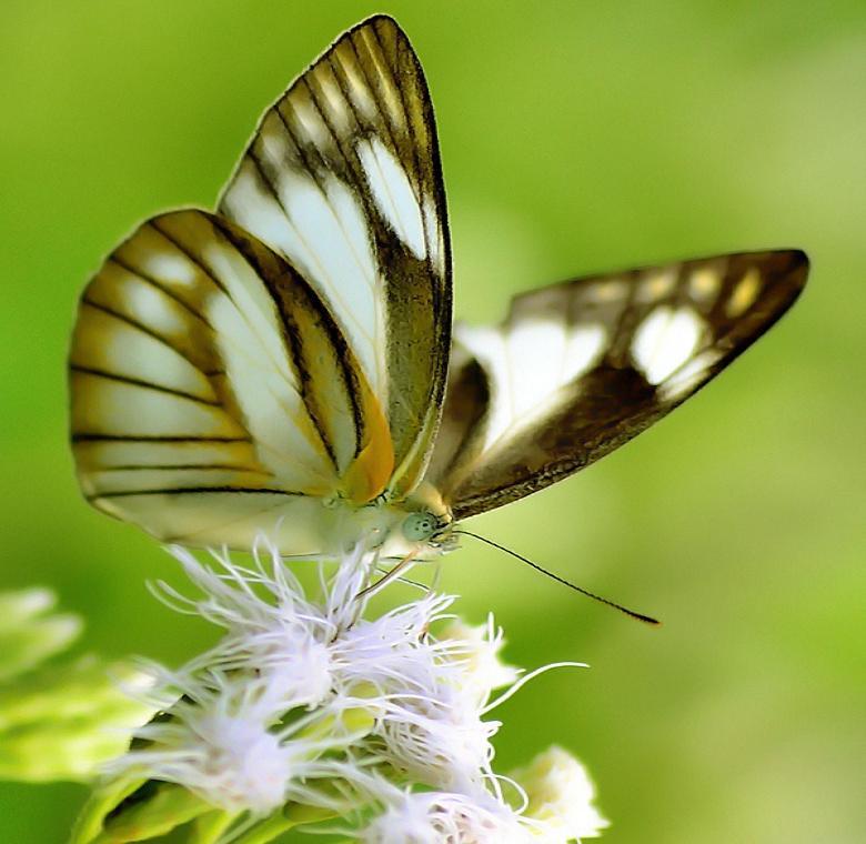 Butterfly on white tassled flower