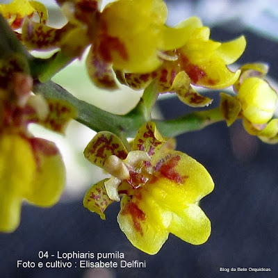Oncidium pumilum, Trichocentrum pumilum, Lophiarella pumila, Epidendrum ligulatum, Oncidium minutiflorum.