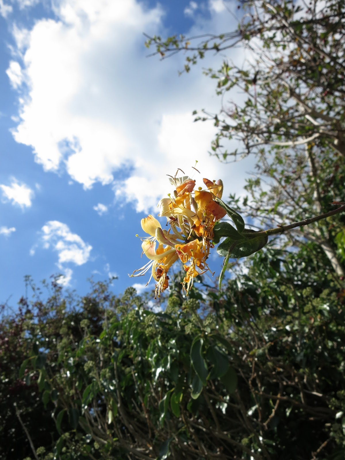 A single yellow honeysuckle (Lonicera) flower sticking out from a hedgerow