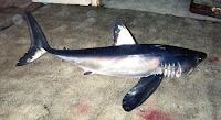 Longfin Mako Shark - Isurus Paucus