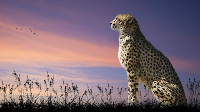 Cheetah predator grass dusk birds HD Wallpaper