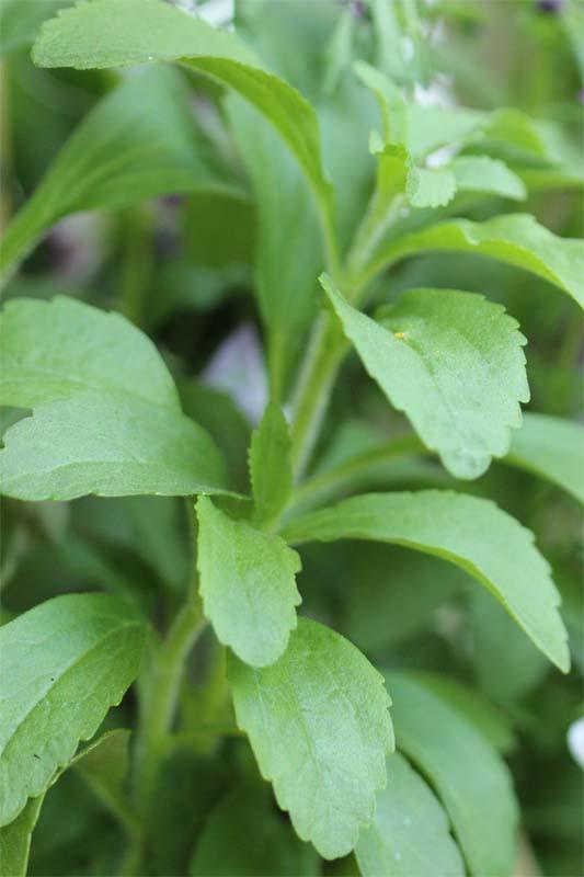 Stevia ernten