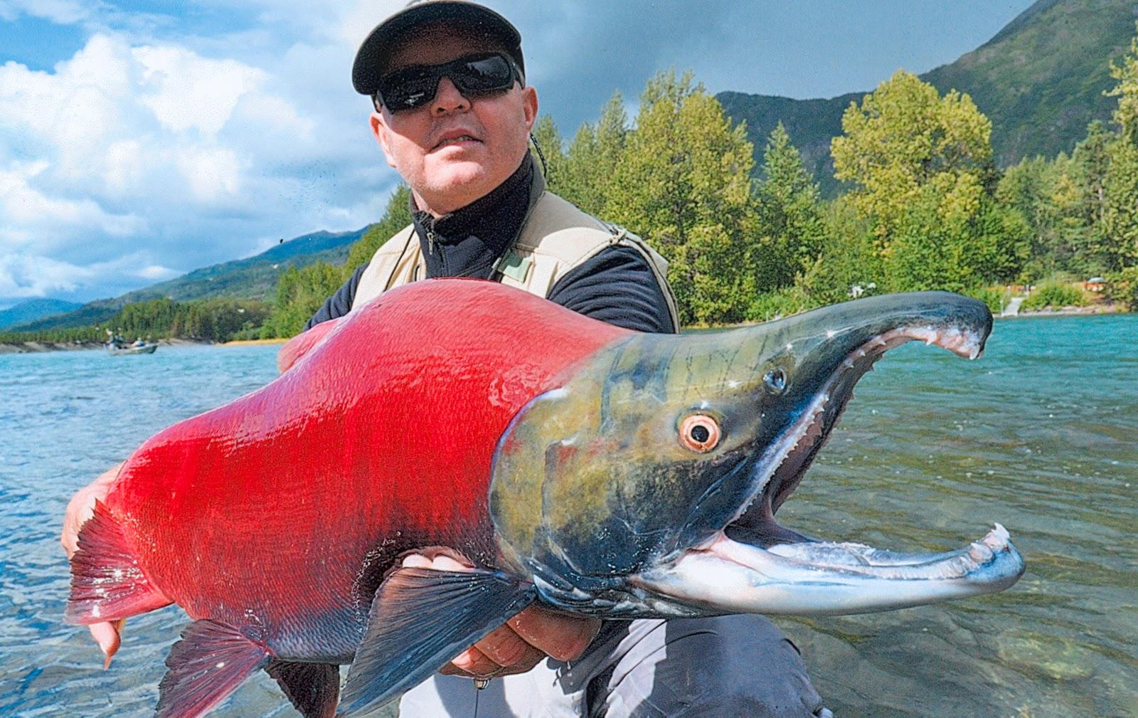 Sockeye salmon fish