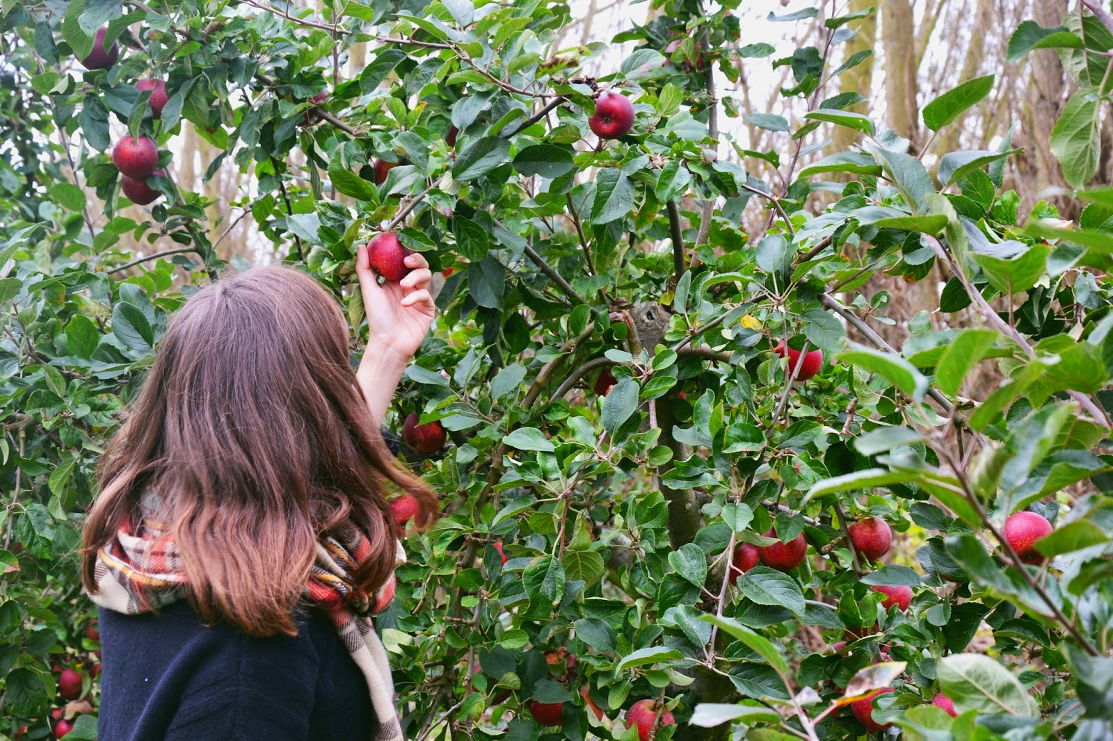 Apple picking at the white house farm in norwich
