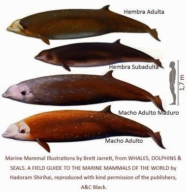 Mamiferos marinos poco conocidos