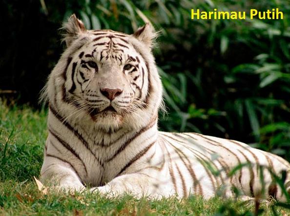 Gambar Foto Hewan Gambar Hewan Harimau Putih
