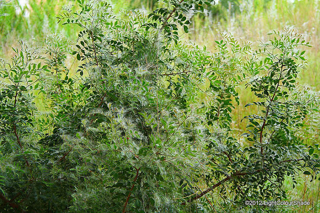 Rosa multiflora shrub wrapped in black poplar seed fluff