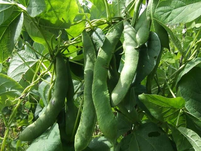Δελτίο Φυτοπροστασίας: Φασολάκι – πιπεριά θερμοκηπίου