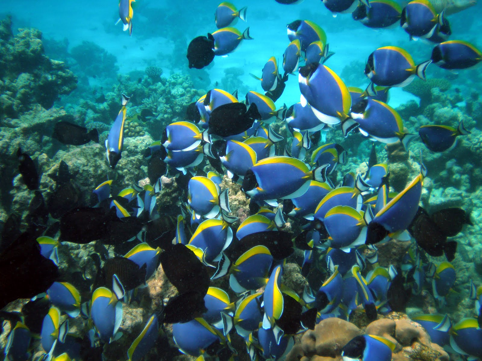 Fish Index: Powder Blue Surgeonfish (Acanthurus leucosternon)
