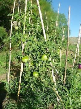 Parte de los tomates del jardín