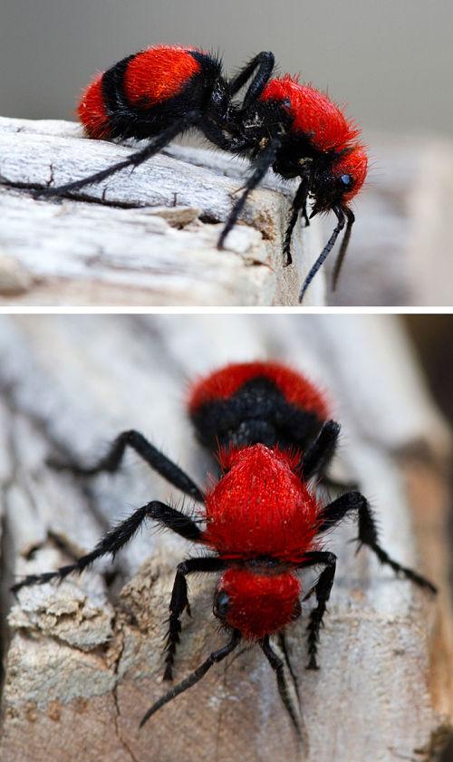 Hormiga de terciopelo rojo
