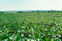 monocultura de soja transgênica
